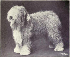 Old_English_Sheepdog