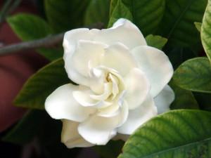 Gardenia_45302