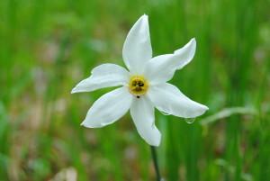 Narcisă_(Narcissus_poeticus)_în_Poiana_Narciselor,_județul_Brașov