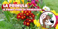 La Primula: il primo fiore di primavera